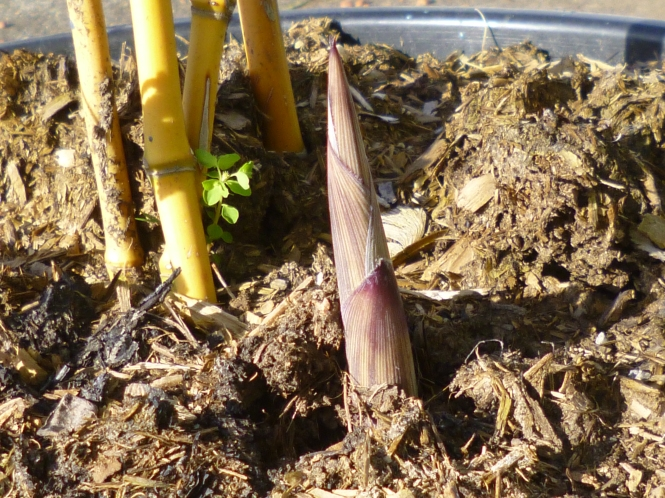 new bamboo shoots