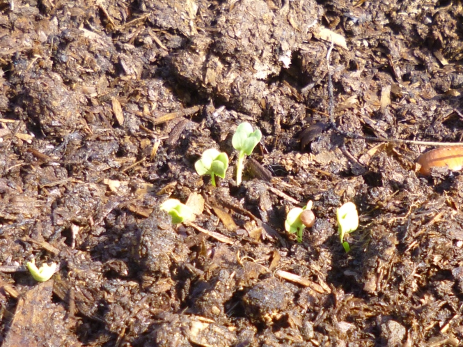 daikon sprouts